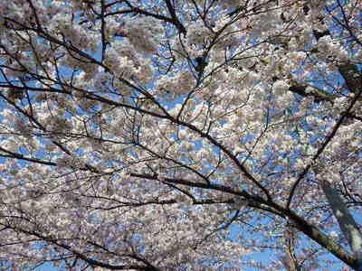 4月19日桜満開.JPG
