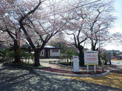 4月19日池口さくら.JPG