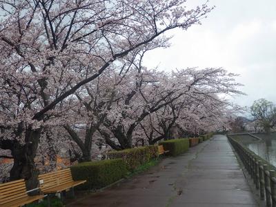 4月22日桜1.JPG