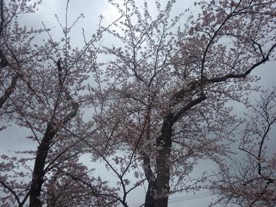 4月22日桜2.JPG