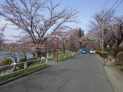 北側は5分咲き (1).JPG