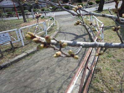 桜の花芽.JPG