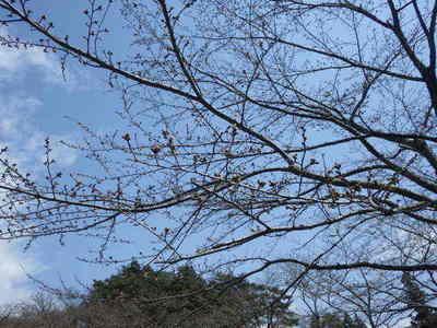 桜の花芽全体.JPG