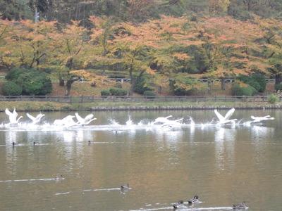 白鳥16羽 (1).JPG