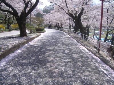 4月29日さくら絨毯.JPG