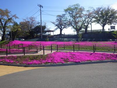 5月5日2番トイレ芝桜.JPG